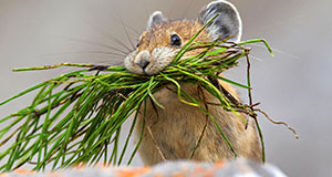 Pictured: An American pika, native to alpine regions of Canada and the United States, with a mouthful of vegetation in rocky terrain.