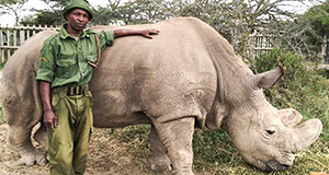 Pictured: Sudan, the last surviving male northern white rhino.