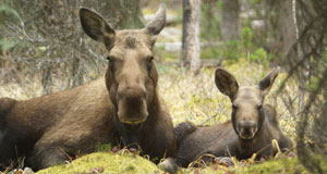 Pictured: Moose calf and mom, Jasper National Park, Alberta, Canada