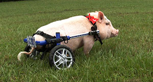 Pictured: Chris P. Bacon the pig on a lawn, Sumterville, FL