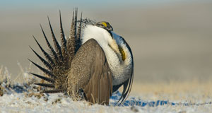 Pictured: A male greater sage-grouse in the midst of his strut display. Pinedale region, WY.