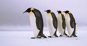 Pictured: Emperor penguins walking in a row, Antarctica.