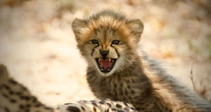 Pictured: Baby Cheetah. Hoedspruit Endangered Species Centre, Namibia.