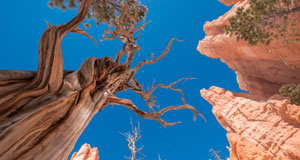 Pictured: Trees in Bryce Canyon National Park in Utah.