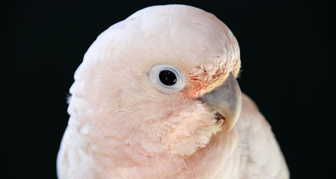 Pictured: Goffin Cockatoo