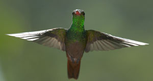 Pictured: Hummingbird wings beat at up to 80 times a second, giving them the ultimate control in the air.
