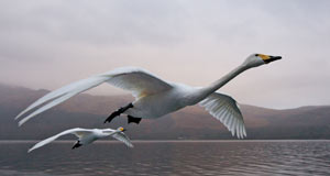 Pictured: Specially trained whooper swans ride the bow wave of rising air behind a speeding boat.