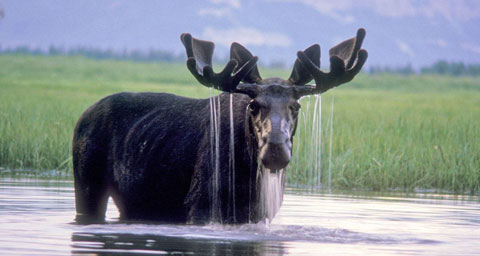 Pictured: Moose in pond.